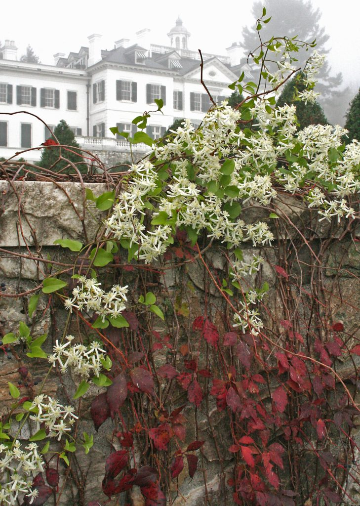 Clematis and Virginia creeper