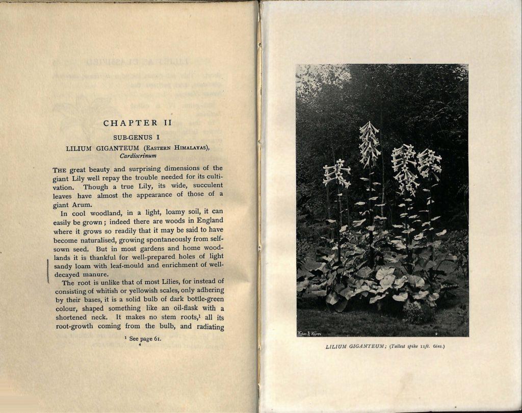 Lilies for English Gardens Jekyll markings